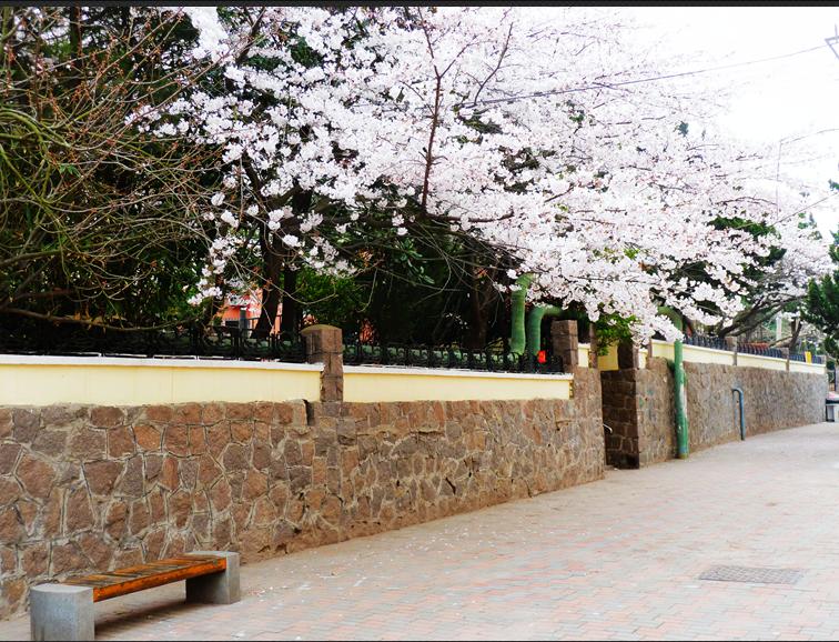 69 山东省 69 青岛汇泉湾冬泳队专区 69 清晨三明南路随拍樱花